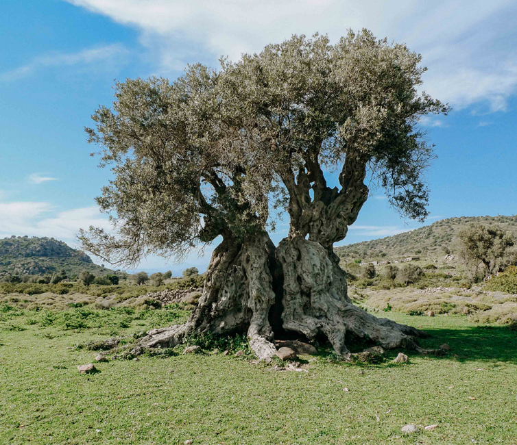 Blog. Olive the gift of Gods. Discover the connection between olive and Greek culture by Eros+SouL